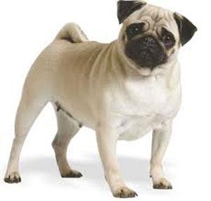 Royal Canin Pug Adult - Hrana Uscata Caini Adulti din Rasa Mops