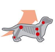 Royal Canin Dachshund Junior - Sustine dezvoltarea articulatiilor  Contribuie la dezvoltarea corecta si mentinerea sanatatii articulatiilor puiului de Teckel, de la o varsta cat mai frageda, gratie continutului de EPA & DHA.